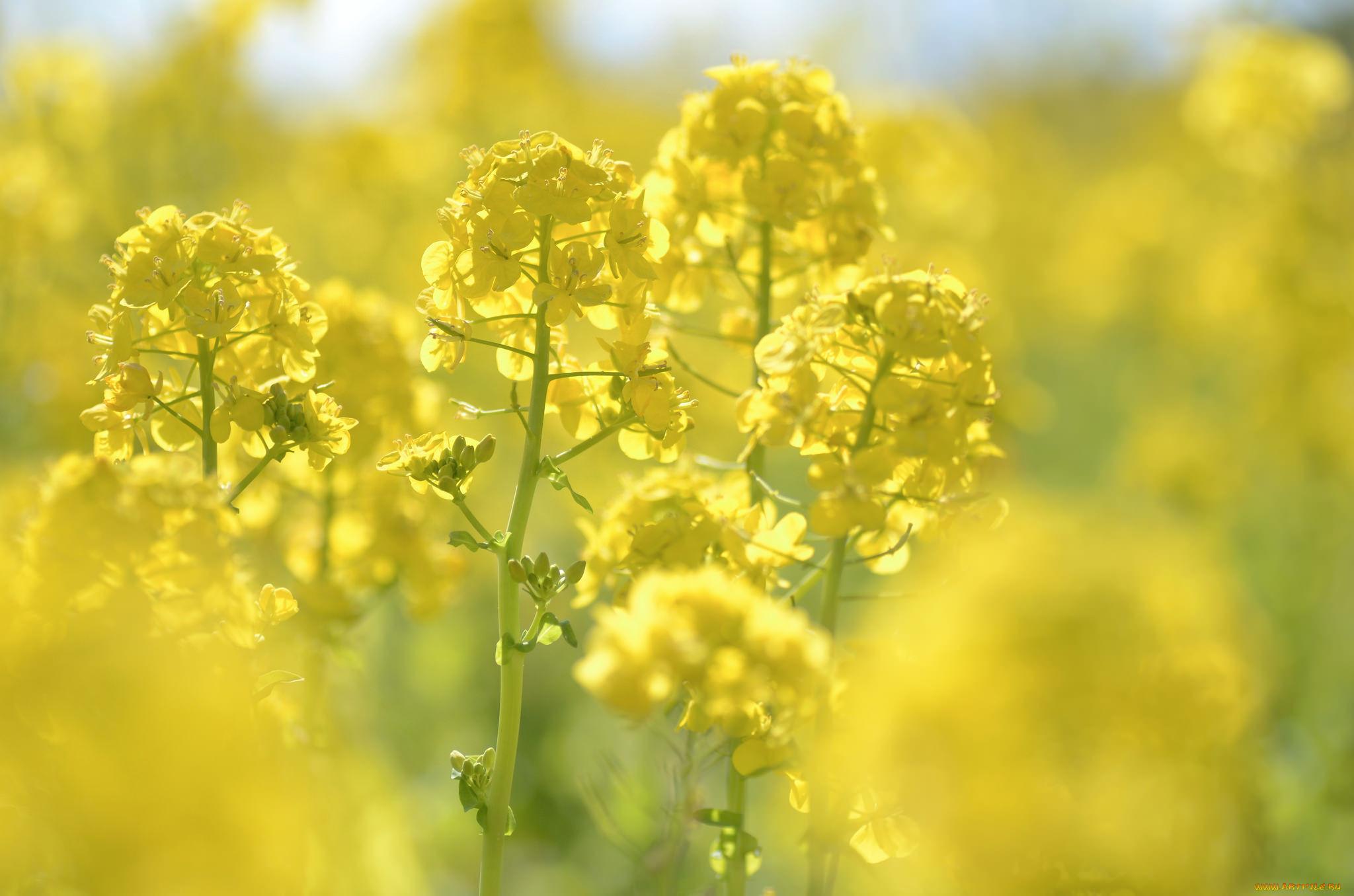 желтые цветы фото с названиями полевые это, мы
